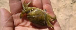cangrejo-verde-pesca