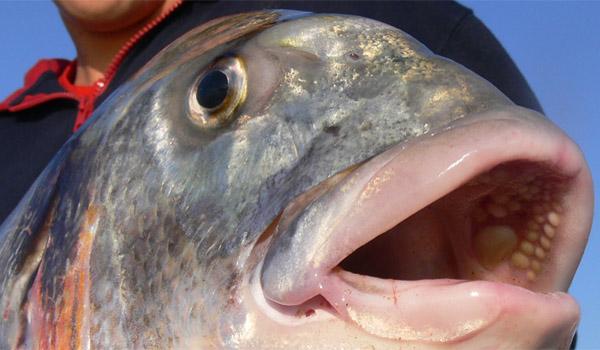 doradas-cebos-pesca