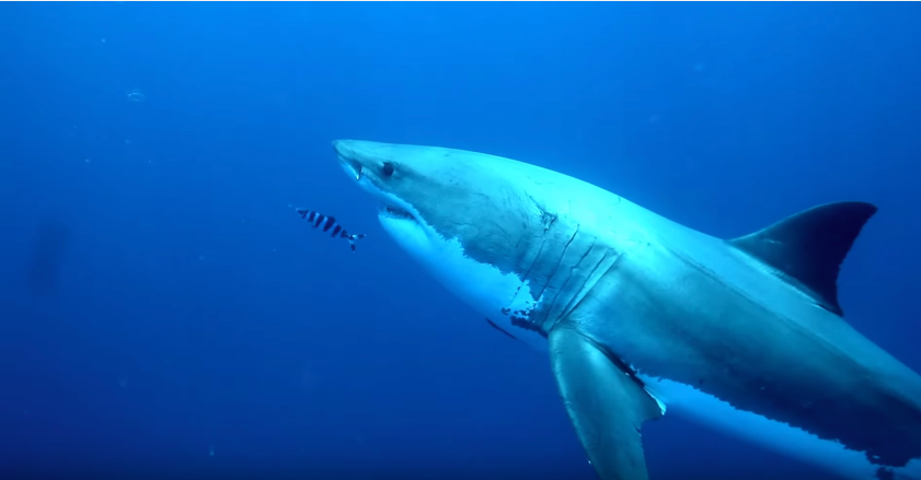 tiburonblanco1