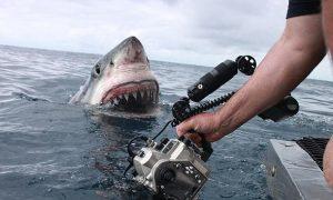 tiburon-blanco-atacando