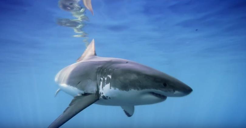 tiburon7